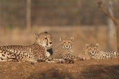 Famiglia dei ghepardi Fotografia Stock Libera da Diritti