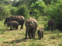 Famiglia dei léphants del ‰ di à allo Sri Lanka Fotografia Stock Libera da Diritti