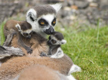 Famiglia dei Lemurs fotografia stock libera da diritti