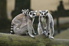 Famiglia dei Lemurs muniti anello Immagini Stock Libere da Diritti
