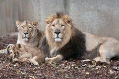 Famiglia dei leoni Fotografia Stock Libera da Diritti