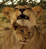 Famiglia dei leoni Fotografie Stock Libere da Diritti