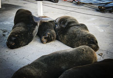 Famiglia dei leoni marini Immagine Stock