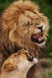 Famiglia dei leoni in savana in Tanzania fotografia stock
