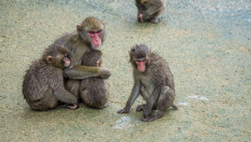 Famiglia dei macachi giapponesi che huddling insieme Fotografie Stock Libere da Diritti