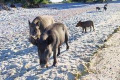 Famiglia dei maiali selvaggi che camminano sulla costa sabbiosa della spiaggia del mare Immagine Stock Libera da Diritti