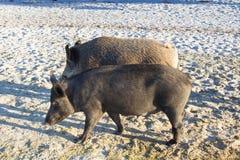 Famiglia dei maiali selvaggi che camminano sulle sabbie costiere Immagini Stock Libere da Diritti