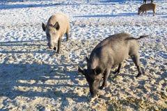 Famiglia dei maiali selvaggi che camminano sulle sabbie costiere della spiaggia Fotografia Stock
