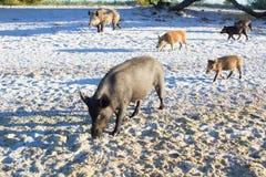 Famiglia dei maiali selvaggi che camminano sulle sabbie costiere della spiaggia del mare Fotografie Stock Libere da Diritti