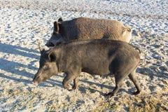 Famiglia dei maiali selvaggi che camminano sulle sabbie del mare Fotografia Stock