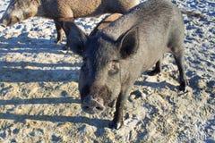 Famiglia dei maiali selvaggi che camminano sulle sabbie della costa della spiaggia del mare Fotografia Stock Libera da Diritti
