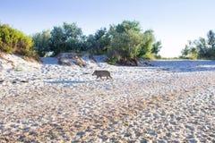 Famiglia dei maiali selvaggi che giocano sulla costa della spiaggia del mare Fotografia Stock Libera da Diritti