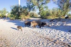 Famiglia dei maiali selvaggi che giocano sulla spiaggia del mare Fotografia Stock