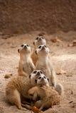 Famiglia dei meercats curiosi Fotografia Stock