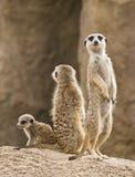 Famiglia dei meerkats Fotografie Stock
