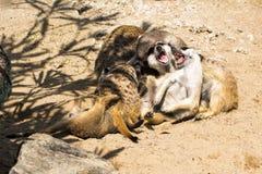 Famiglia dei meerkats che giocano i giochi pazzi Fotografia Stock Libera da Diritti