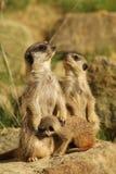 Famiglia dei meerkats con un bambino Fotografia Stock Libera da Diritti
