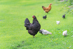 Famiglia dei polli su una passeggiata Fotografie Stock