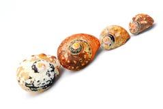 Famiglia dei seashells della chiocciola di scogliera Fotografia Stock