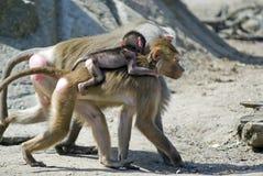 Famiglia del babbuino Fotografie Stock