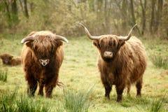 Famiglia del bisonte Fotografia Stock