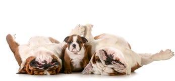 Famiglia del bulldog immagine stock