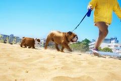 Famiglia del bulldog che cammina nella spiaggia Immagini Stock Libere da Diritti