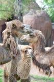 Famiglia del cammello Fotografia Stock Libera da Diritti