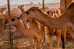 Famiglia del cammello Immagini Stock Libere da Diritti