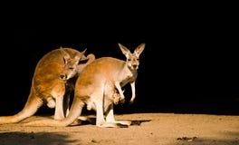 Famiglia del canguro Fotografie Stock