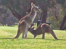 Famiglia del canguro fotografia stock