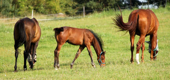 Famiglia del cavallo Fotografia Stock
