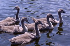 Famiglia del cigno che gode al giorno di estate soleggiato piacevole Fotografia Stock Libera da Diritti