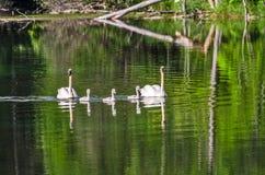 Famiglia del cigno con i tripletti! fotografia stock libera da diritti