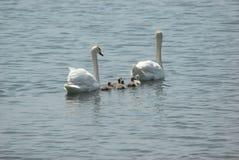 Famiglia del cigno nel lago Fotografie Stock