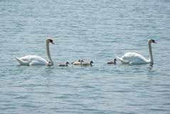 Famiglia del cigno nel lago Fotografia Stock Libera da Diritti