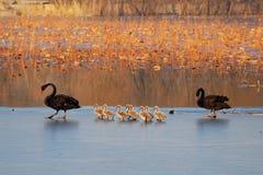 Famiglia del cigno nero Fotografie Stock