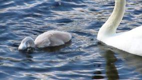 Famiglia del cigno su un piccolo lago blu archivi video