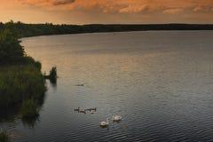 Famiglia del cigno sul lago fotografia stock libera da diritti