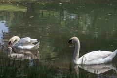 Famiglia del cigno in un lago fotografia stock libera da diritti