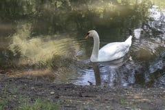 Famiglia del cigno in un lago fotografie stock libere da diritti