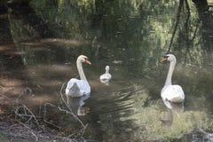 Famiglia del cigno in un lago immagine stock