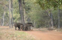 Famiglia del cinghiale che attraversa il sentiero nel bosco Immagini Stock