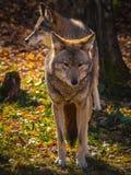 Famiglia del coyote Fotografia Stock