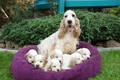 Famiglia del cucciolo di menzogne di cocker spaniel di inglese Immagine Stock