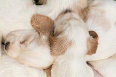 Famiglia del cucciolo di menzogne di cocker spaniel di inglese Fotografie Stock