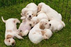 Famiglia del cucciolo di menzogne di cocker spaniel di inglese Fotografia Stock