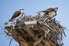 Famiglia del falco pescatore in nido immagini stock libere da diritti
