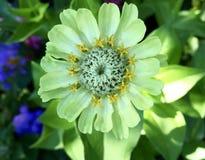 Famiglia del fiore di Zina Verde di calce luminoso con il centro giallo fotografie stock
