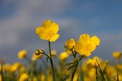 Famiglia del fiore giallo del campo Immagini Stock Libere da Diritti